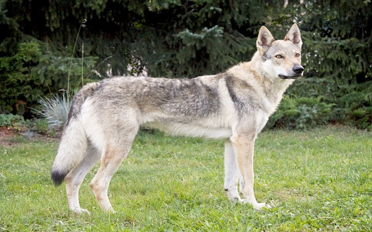 Waiting for you Customization Czechoslovakian Wolf Dog Statue