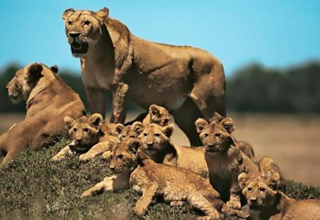 Custom made Lion Family Bronze statues
