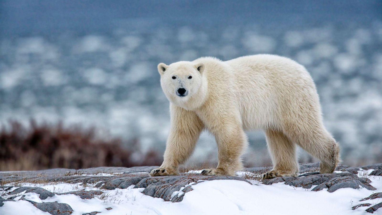 polar bear sculptures for sale